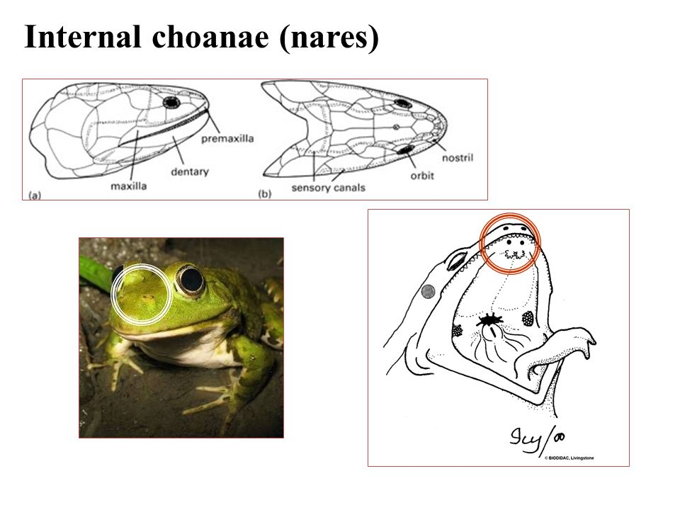 amphibians � a tetrapod ppt video online download