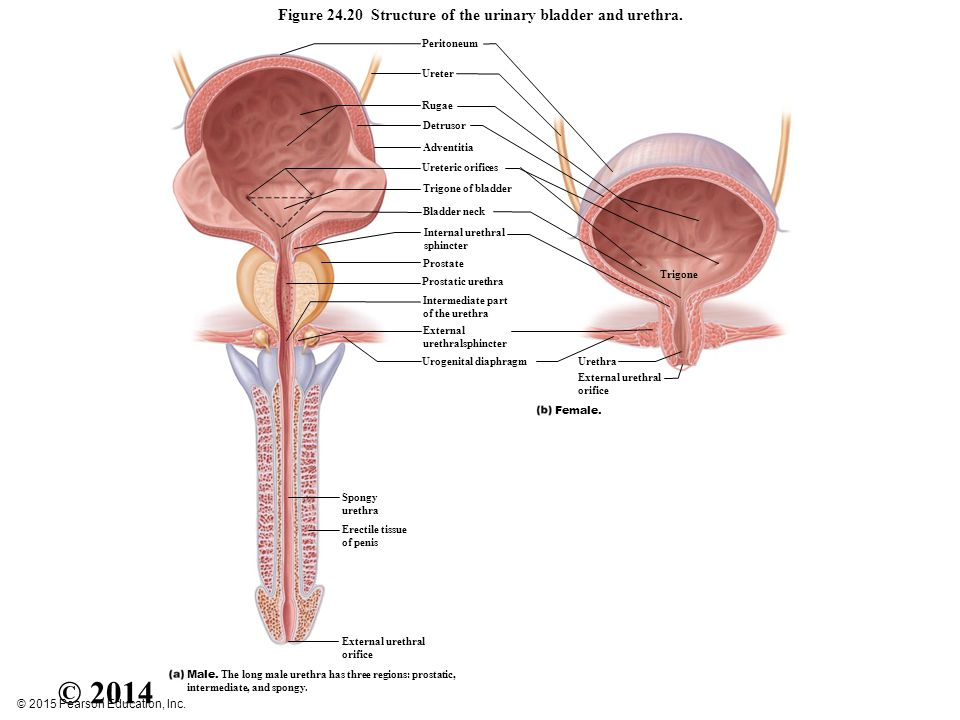 Figure 151a organs of the urinary system ppt video online download figure 2420 structure of the urinary bladder and urethra ccuart Image collections
