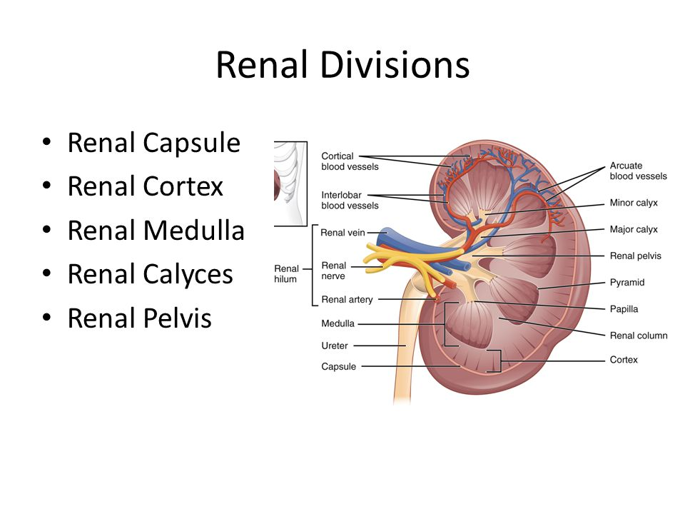 Renal Capsule Anatomy & Physiolo...