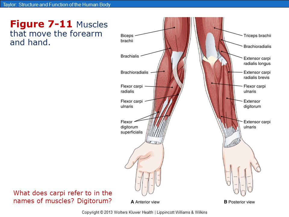 Chapter 7 The Muscular System Ppt Video Online Download