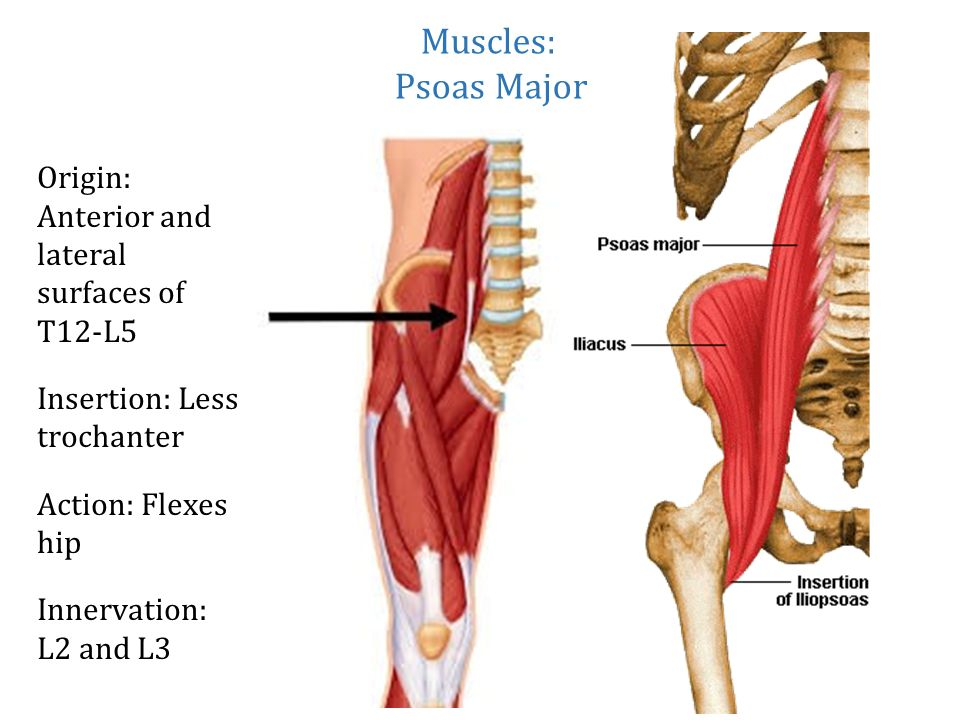 Muscles: Origin: Anterior and lateral surfaces of T12-L5
