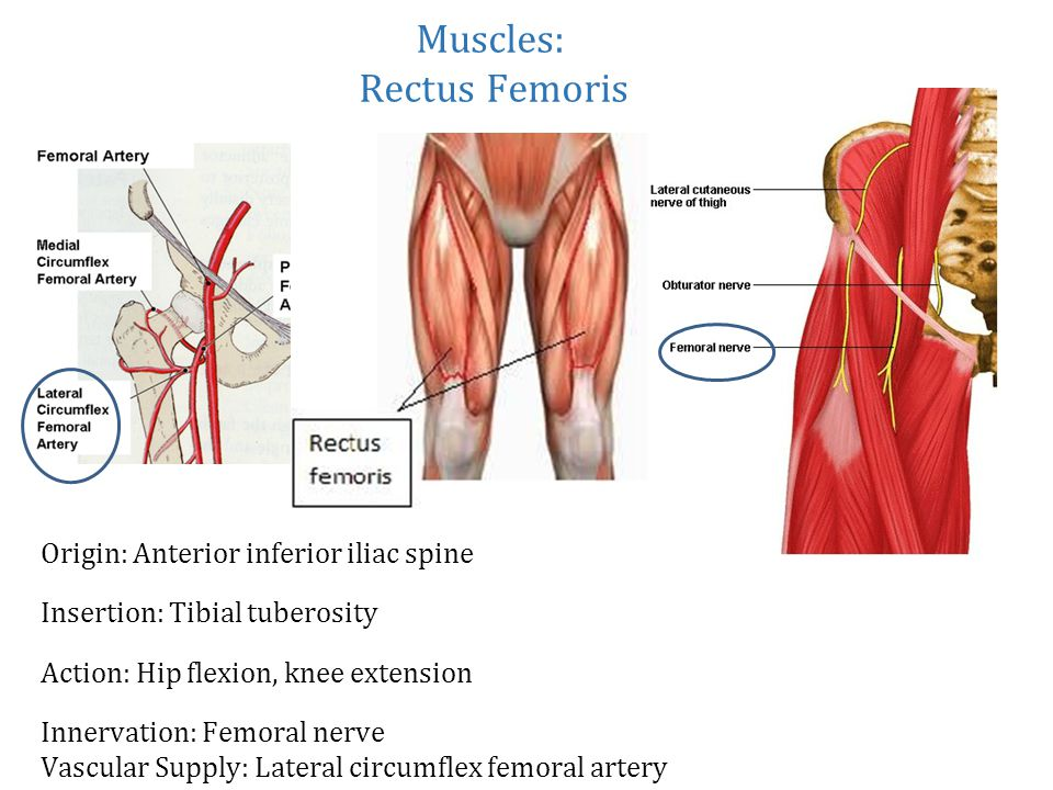 femoral nerve muscle innervation – lickclick, Muscles