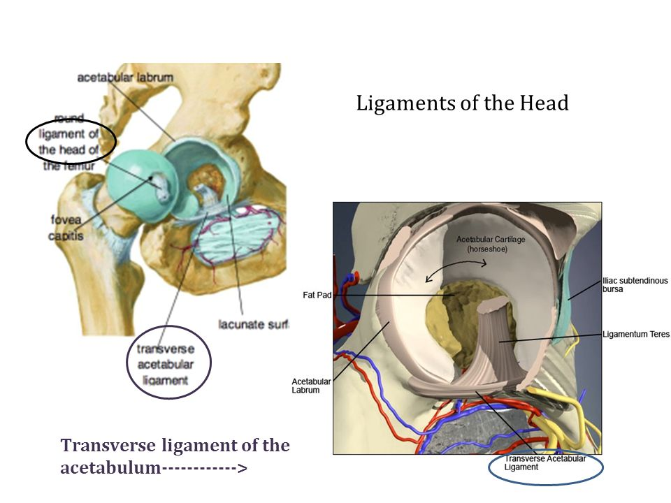Ligaments of the Head Transverse ligament of the acetabulum >
