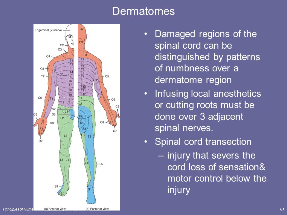 The spinal cord spinal nerves lecture outline ppt for Loss of motor control