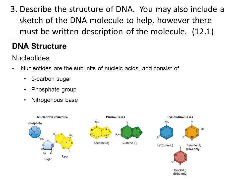 describe the structure of dna Start studying dna structure & function learn vocabulary, terms, and more with flashcards, games, and other study tools.