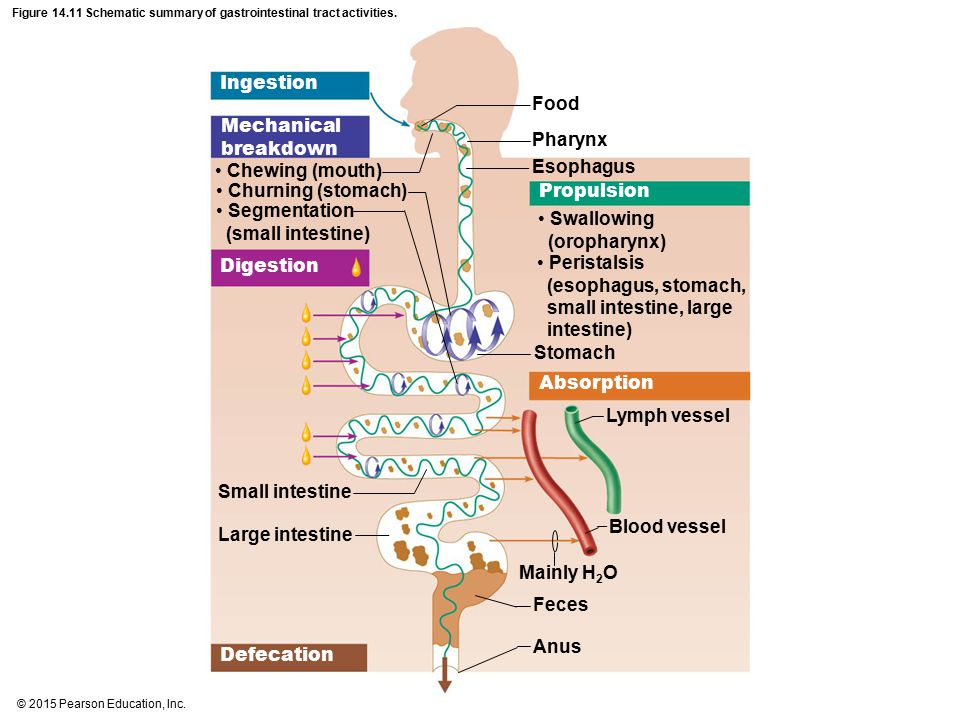 Figure Schematic Summary Of Gastrointestinal Tract Activities Ppt