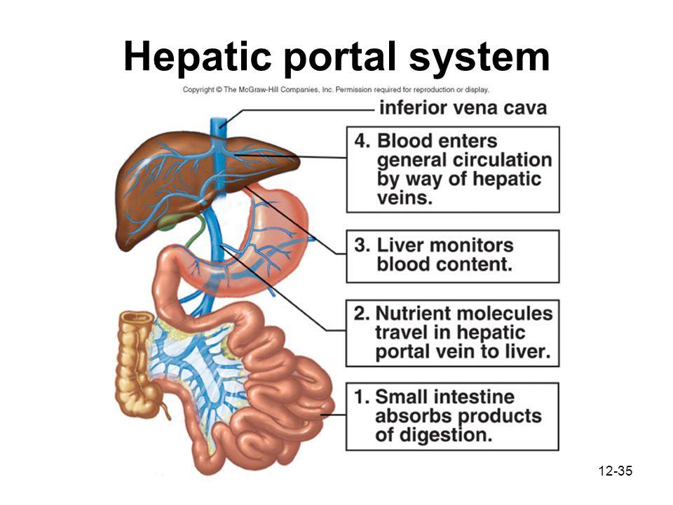 Hepatic Portal System Cat Dissection Hepatic Portal Vein T