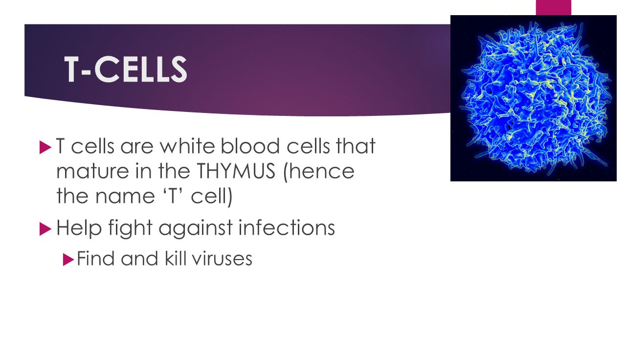 T-CELLS T cells are white blood cells that mature in the THYMUS (hence the name 'T' cell) Help fight against infections.