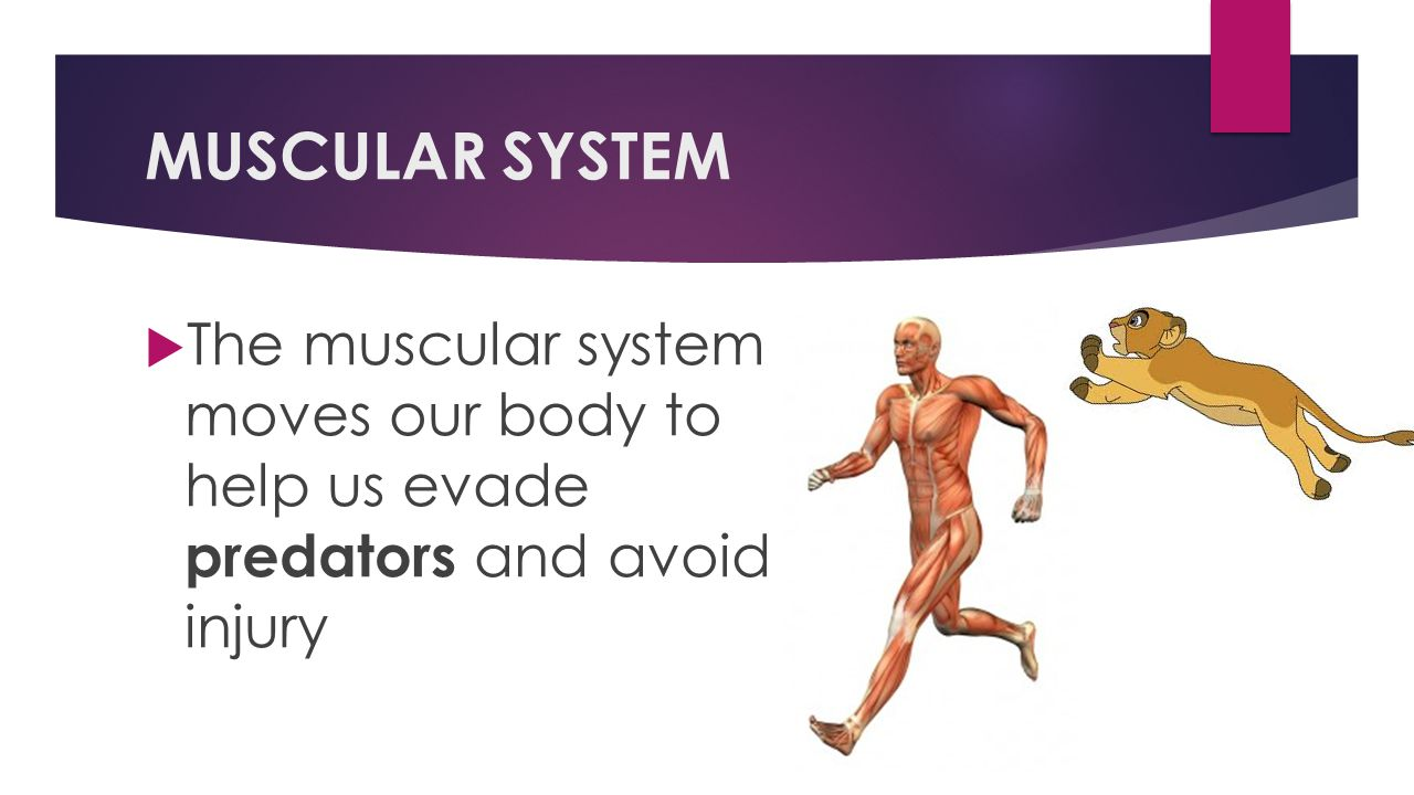 MUSCULAR SYSTEM The muscular system moves our body to help us evade predators and avoid injury