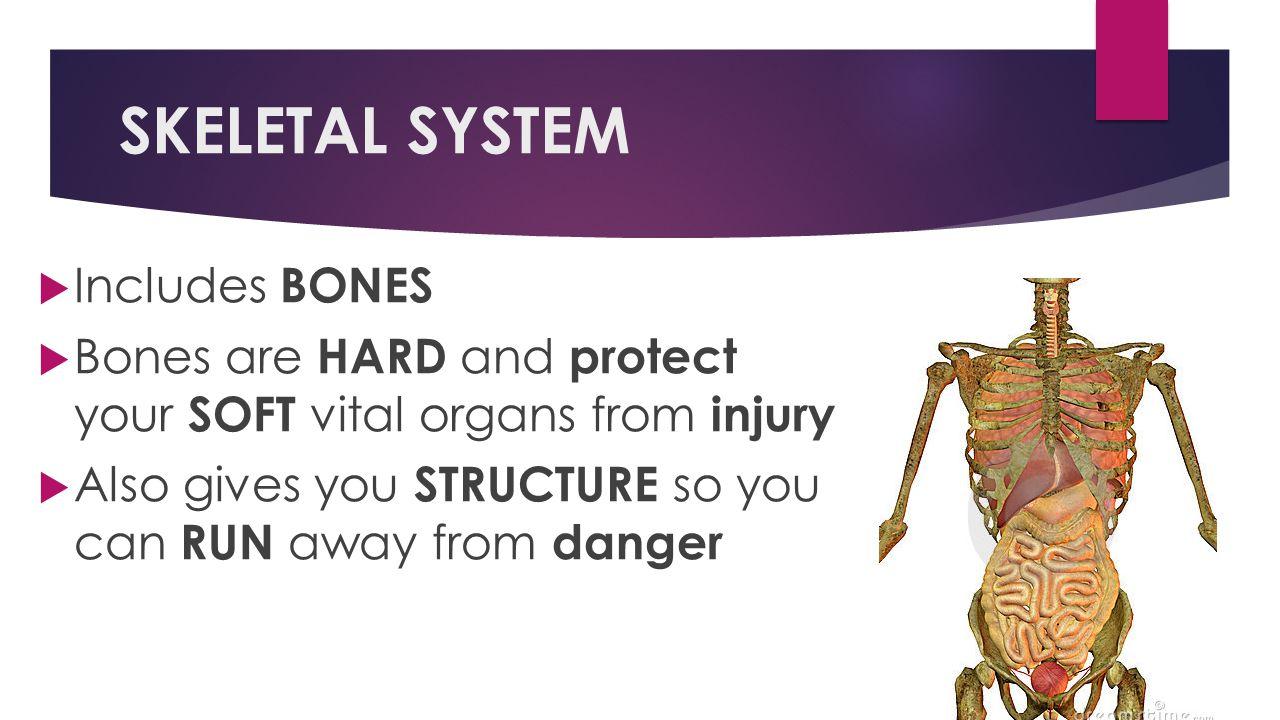 SKELETAL SYSTEM Includes BONES