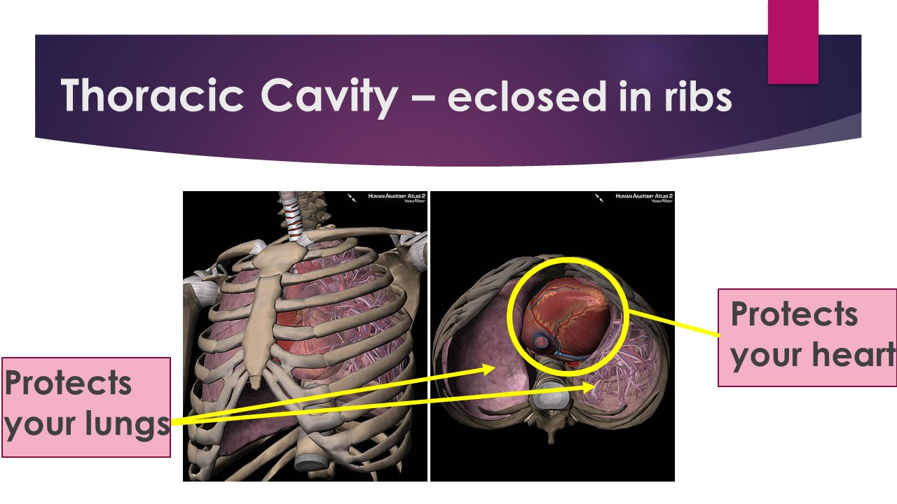Thoracic Cavity – eclosed in ribs