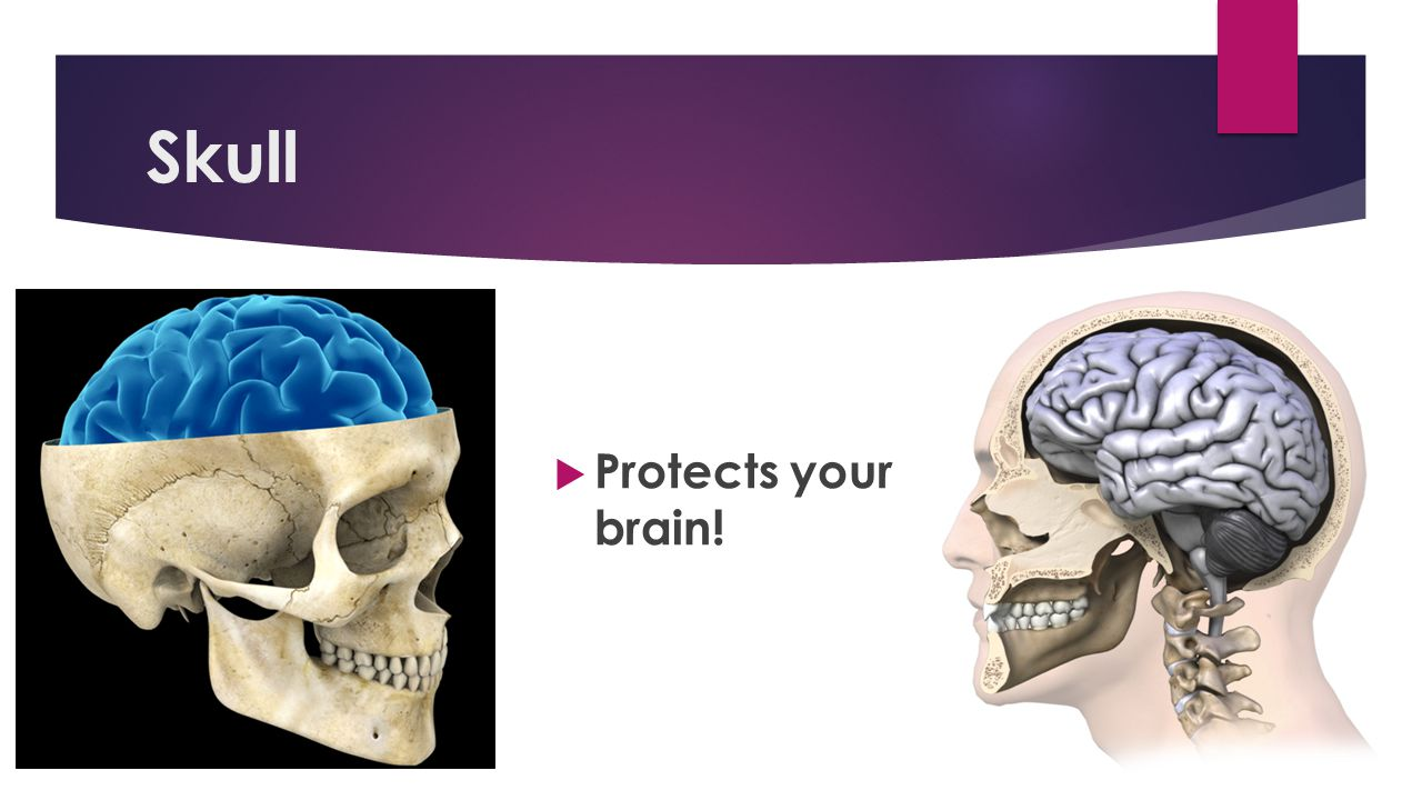 Skull Protects your brain!