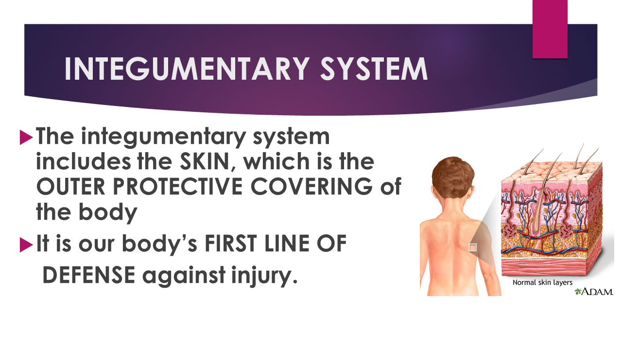 INTEGUMENTARY SYSTEM The integumentary system includes the SKIN, which is the OUTER PROTECTIVE COVERING of the body.