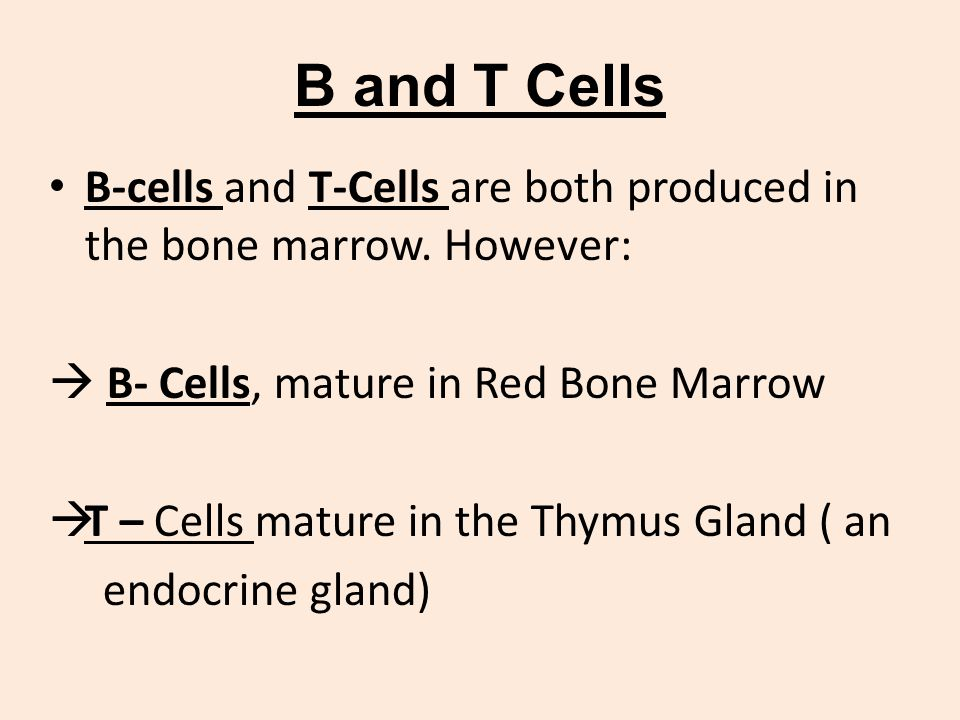 B and T Cells B-cells and T-Cells are both produced in the bone marrow. However:  B- Cells, mature in Red Bone Marrow.