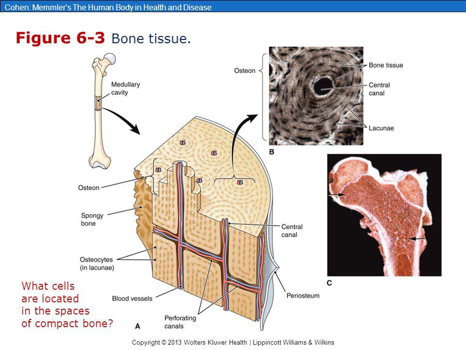 chapter 6 the skeleton bones and joints ppt video online download. Black Bedroom Furniture Sets. Home Design Ideas