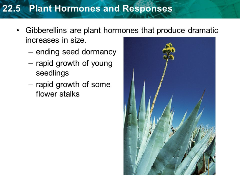 Gibberellins are plant hormones that produce dramatic increases in size.