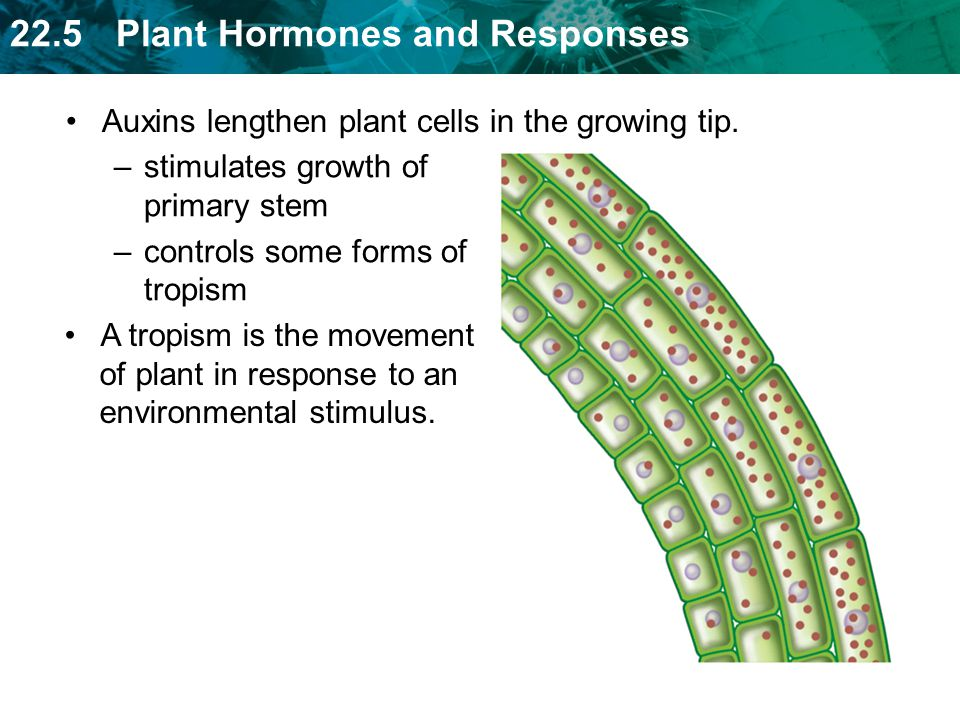 Auxins lengthen plant cells in the growing tip.
