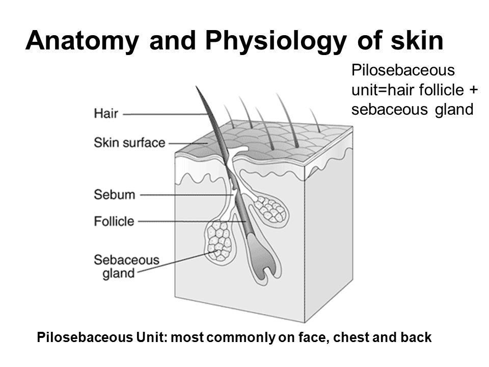 Fantastisch Skin Anatomy And Physiology Ppt Bilder - Menschliche ...