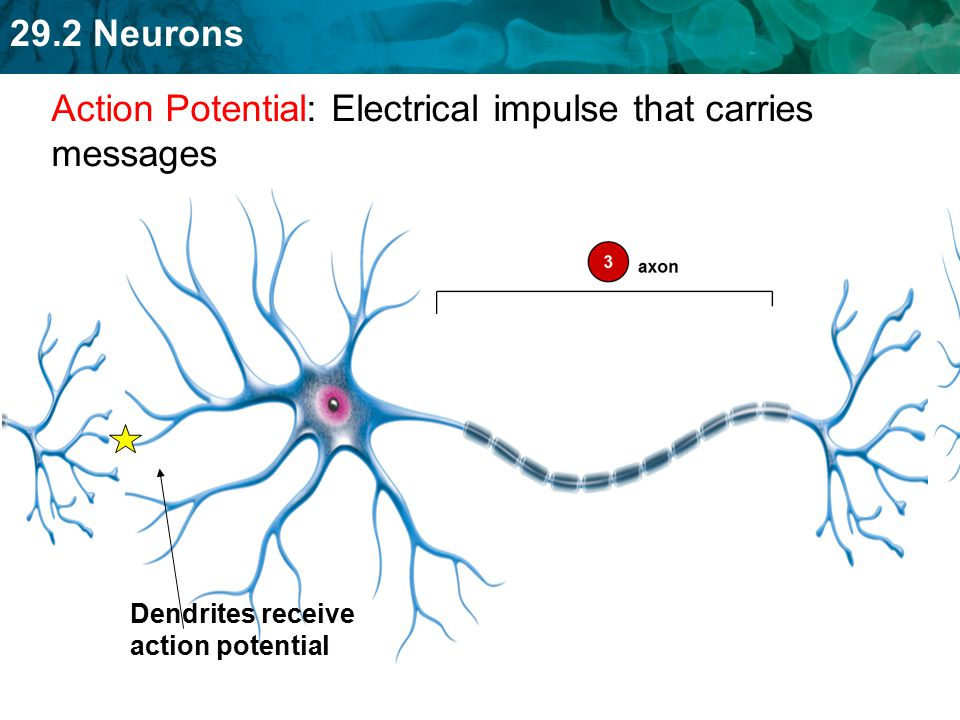 Action Potential: Electrical impulse that carries messages
