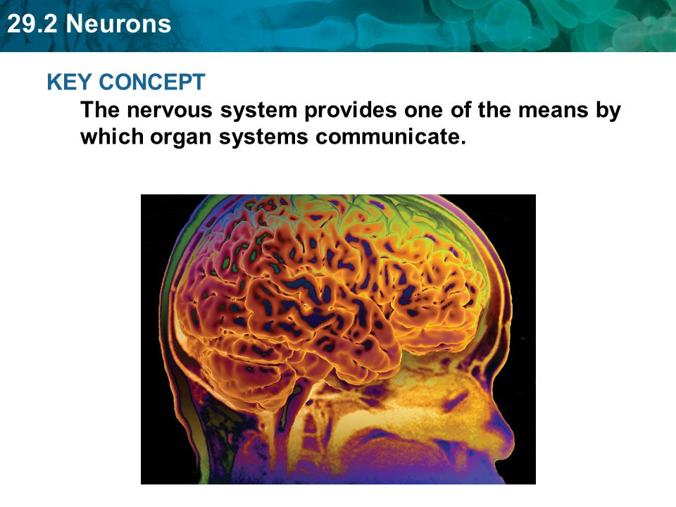 KEY CONCEPT The nervous system provides one of the means by which organ systems communicate.