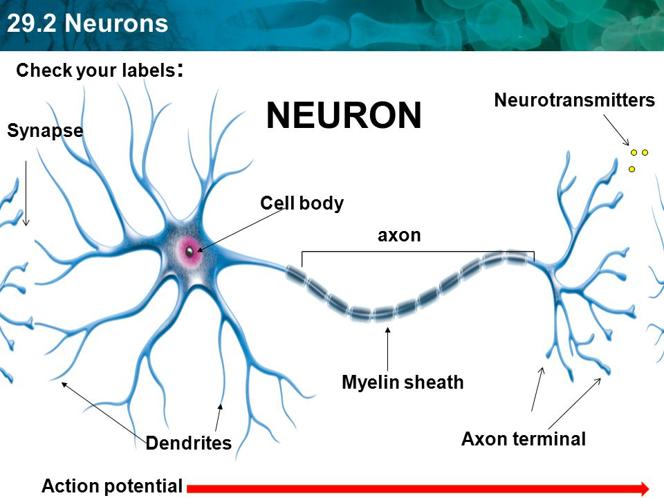 NEURON Check your labels: Neurotransmitters Synapse Cell body axon