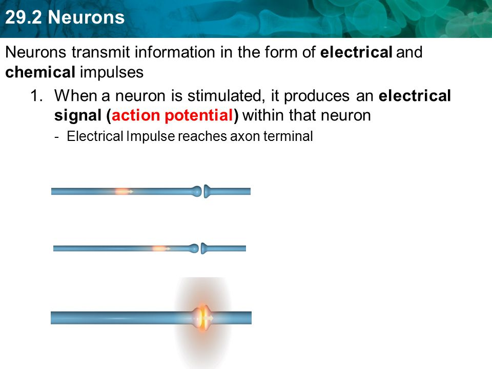 Nervous System and Neurons - ppt download