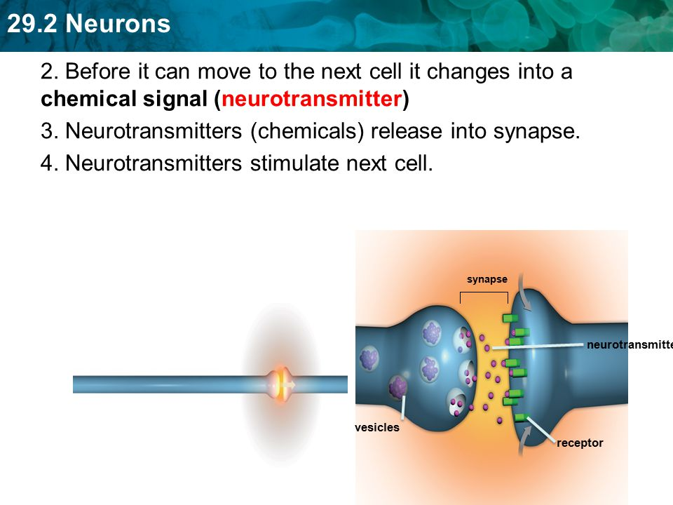 3. Neurotransmitters (chemicals) release into synapse.