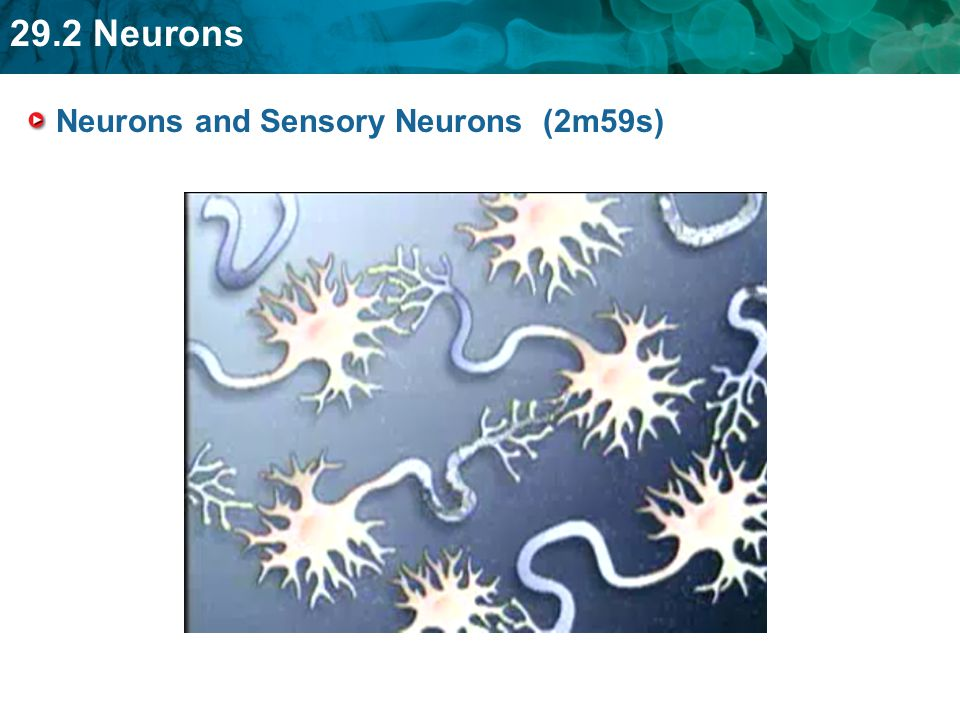 Neurons and Sensory Neurons (2m59s)