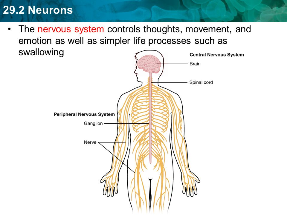 The nervous system controls thoughts, movement, and emotion as well as simpler life processes such as swallowing