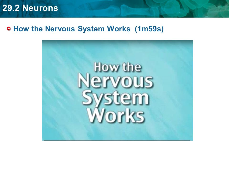 How the Nervous System Works (1m59s)