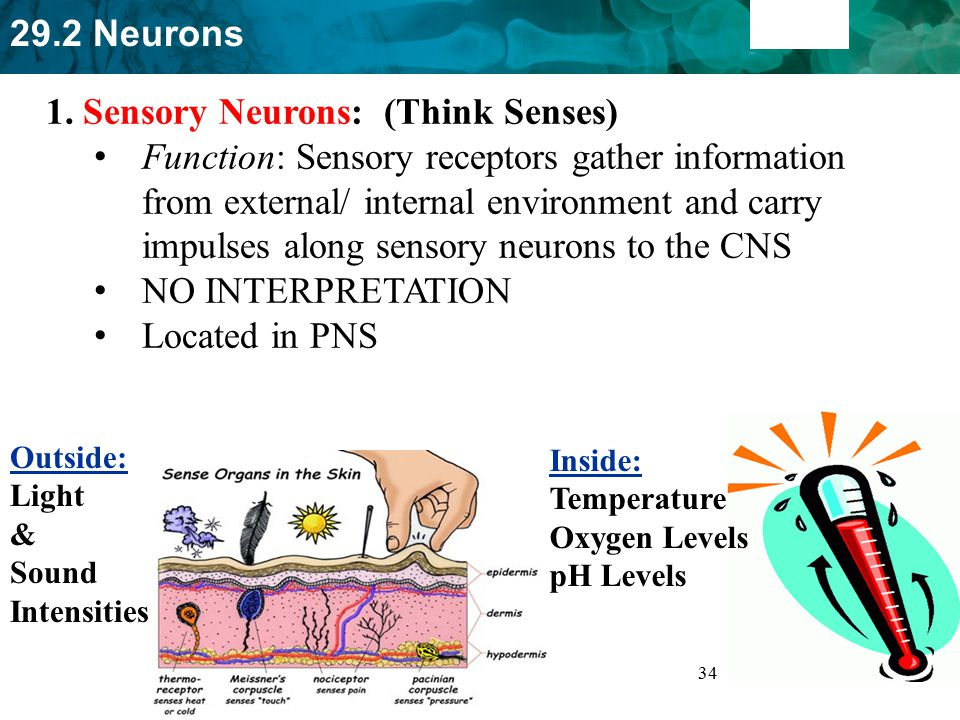1. Sensory Neurons: (Think Senses)