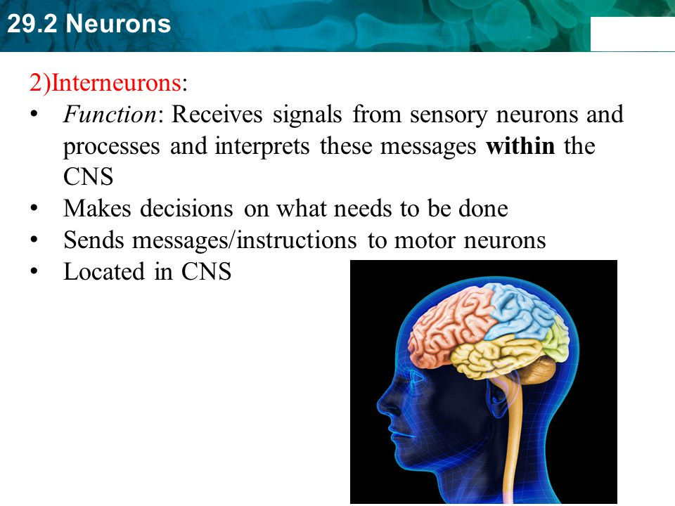 2)Interneurons: Function: Receives signals from sensory neurons and processes and interprets these messages within the CNS.