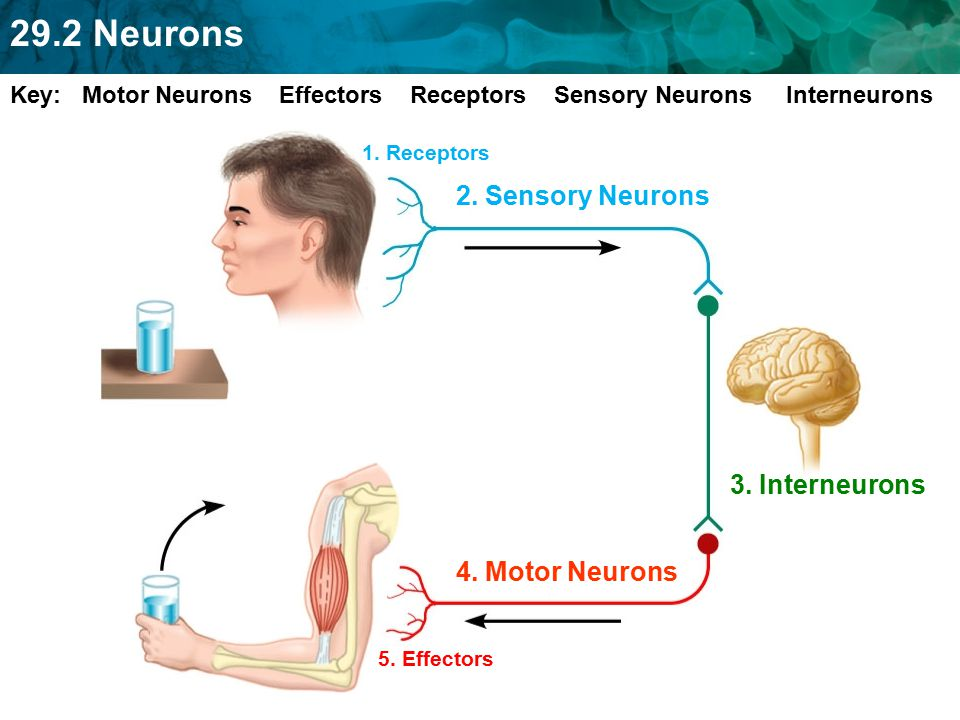 2. Sensory Neurons 3. Interneurons 4. Motor Neurons