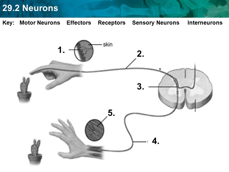 Key: Motor Neurons Effectors Receptors Sensory Neurons Interneurons
