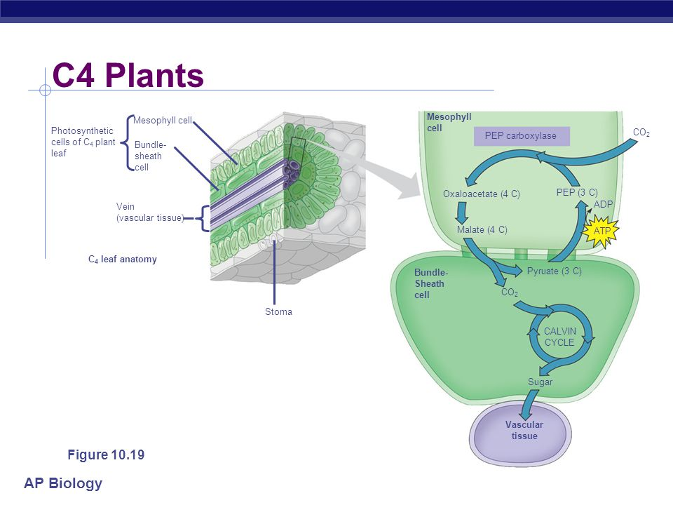 Chapter 10: Photosynthesis - Life from Light - ppt download