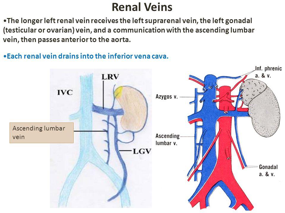 Gonadal Vein Diagram - Wiring Diagram •