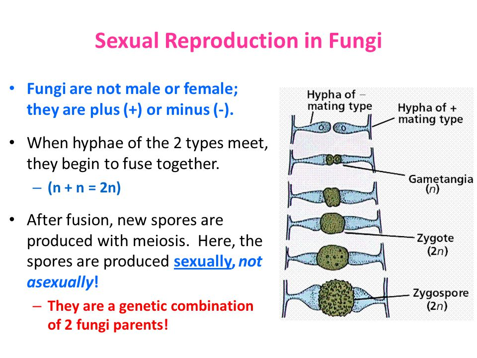Sexual reproduction in basidiomycota