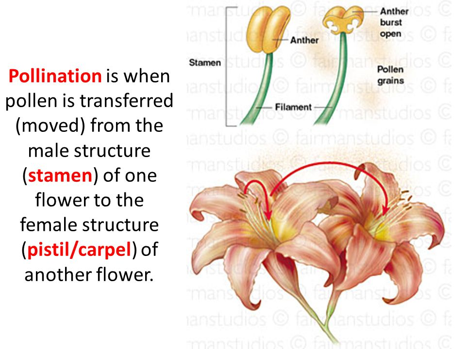 pollination and b stamen c The stamen (plural stamina or  more commonly, mature pollen grains separate and are dispensed by wind or water, pollinating insects, birds or other pollination.