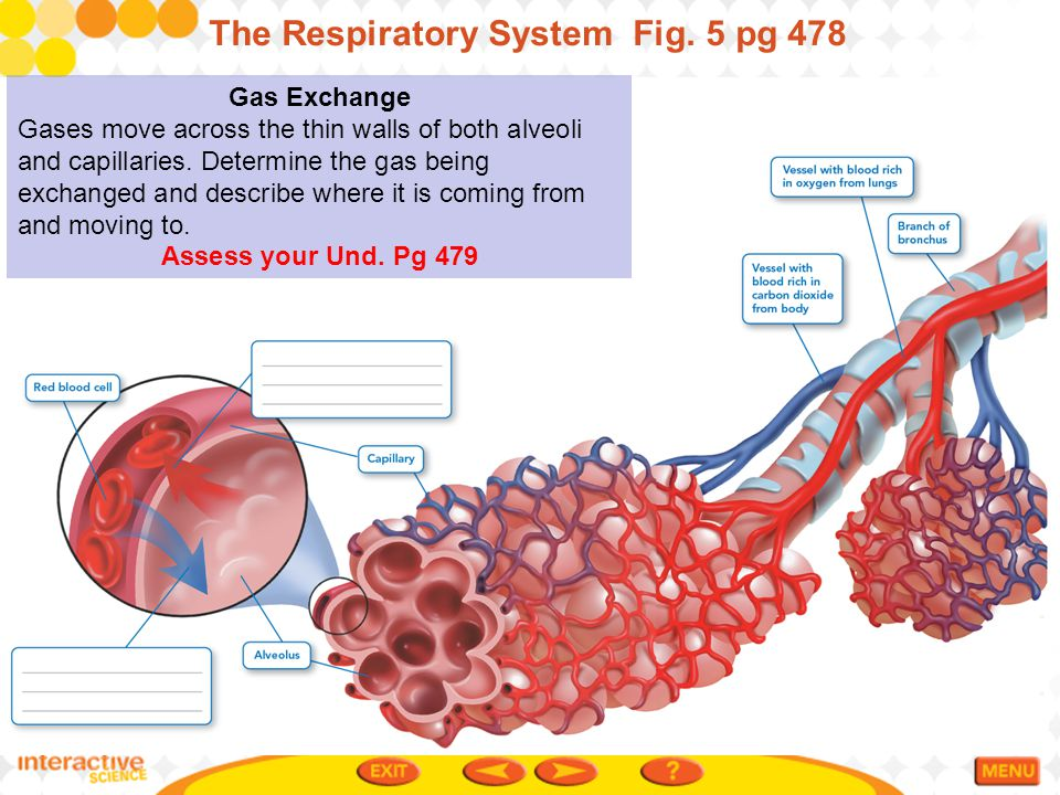 The Respiratory System Fig. 5 pg 478
