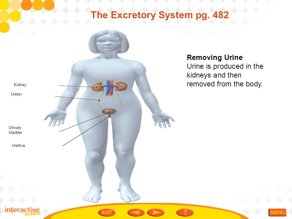 The Excretory System pg. 482