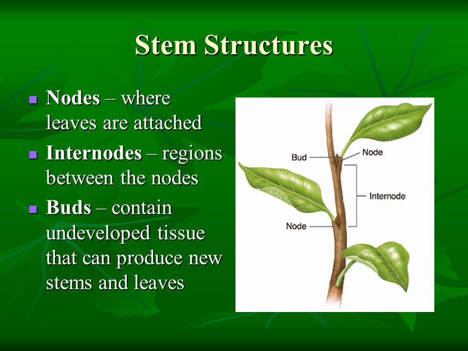 Stem Structures Nodes – where leaves are attached
