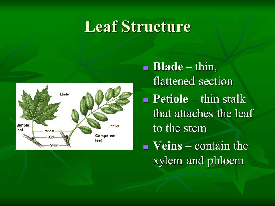 Leaf Structure Blade – thin, flattened section