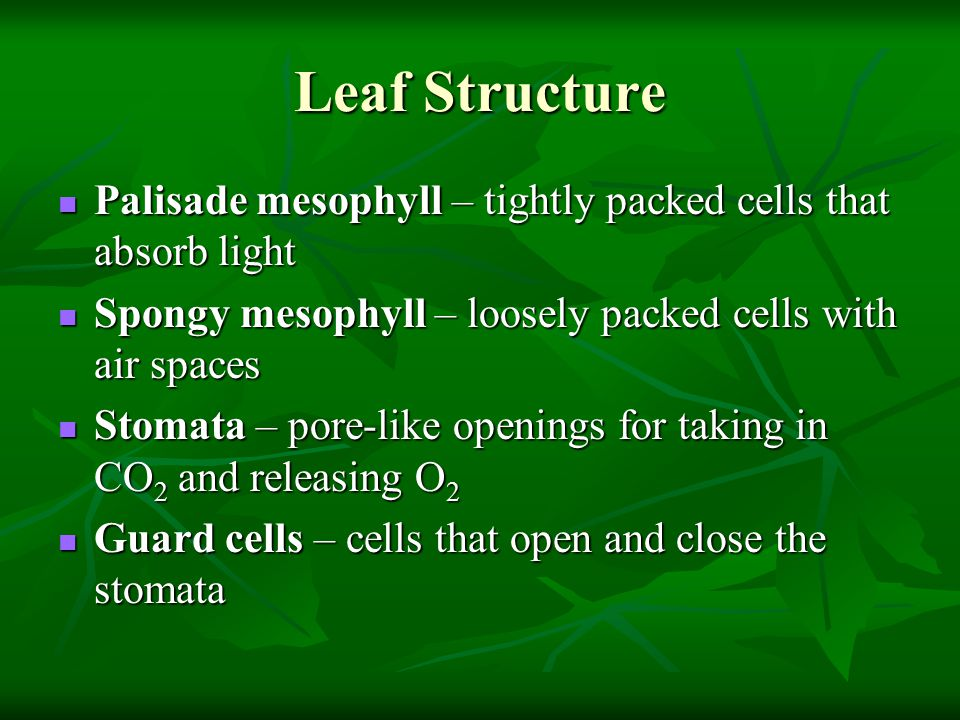Leaf Structure Palisade mesophyll – tightly packed cells that absorb light. Spongy mesophyll – loosely packed cells with air spaces.