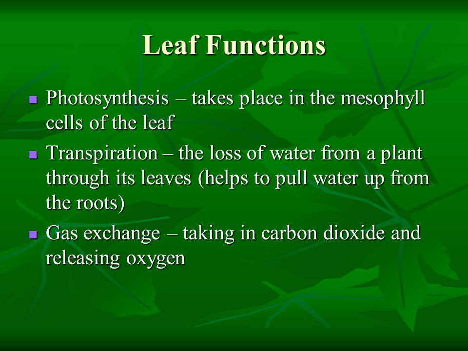 Leaf Functions Photosynthesis – takes place in the mesophyll cells of the leaf.