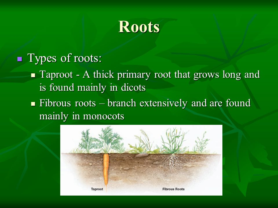 Roots Types of roots: Taproot - A thick primary root that grows long and is found mainly in dicots.