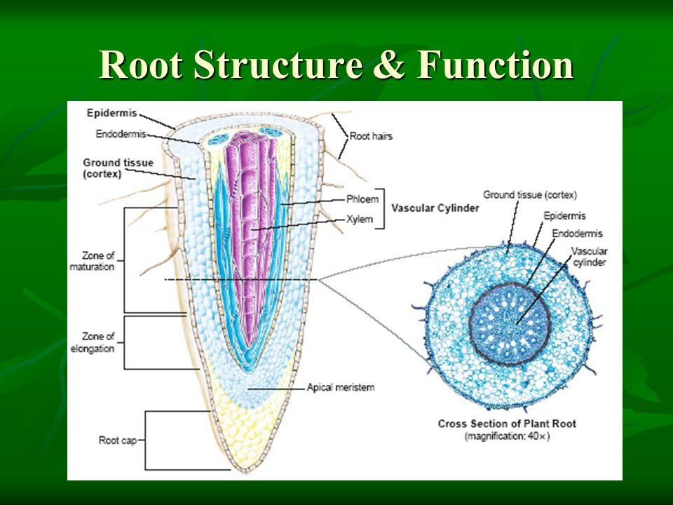 Root Structure & Function