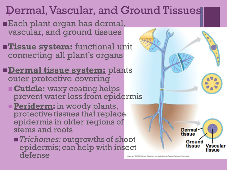ground tissues The connective tissues the connective tissues generally consist of an indigenous population of cells surrounded by fibers and an amorphous ground.