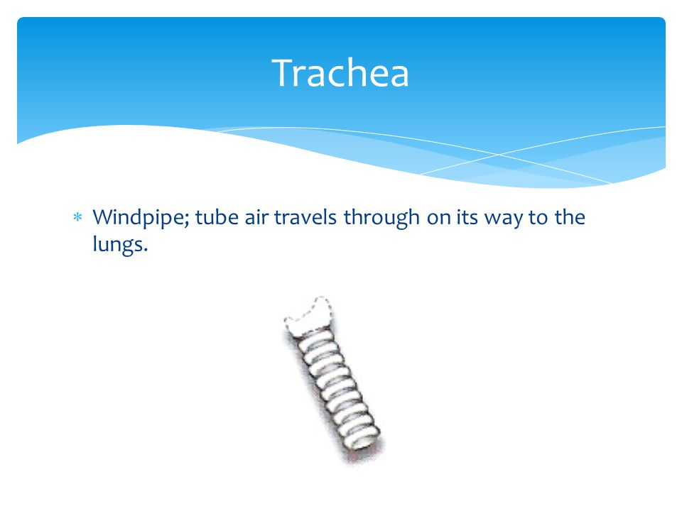 Trachea Windpipe; tube air travels through on its way to the lungs.