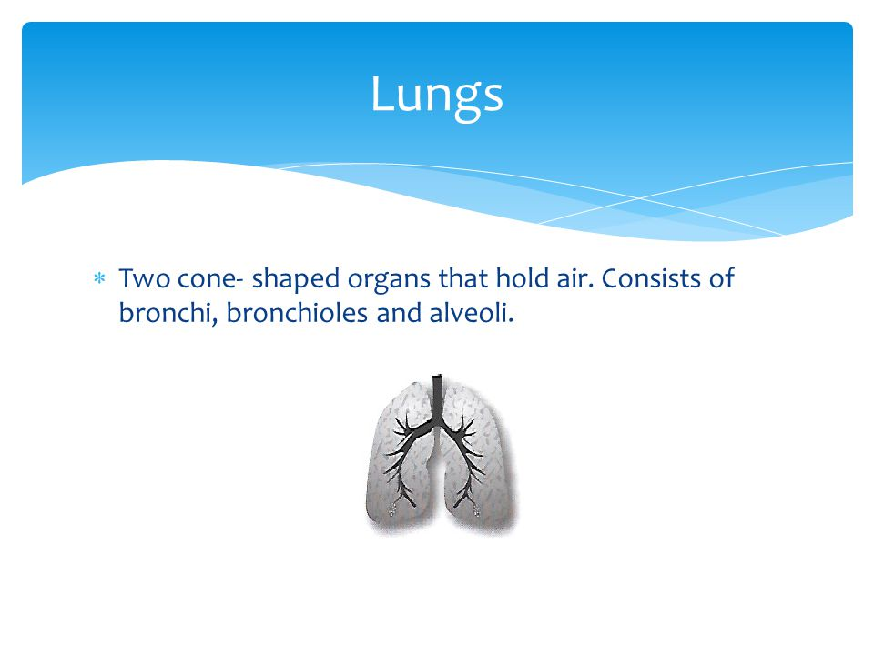 Lungs Two cone- shaped organs that hold air. Consists of bronchi, bronchioles and alveoli.