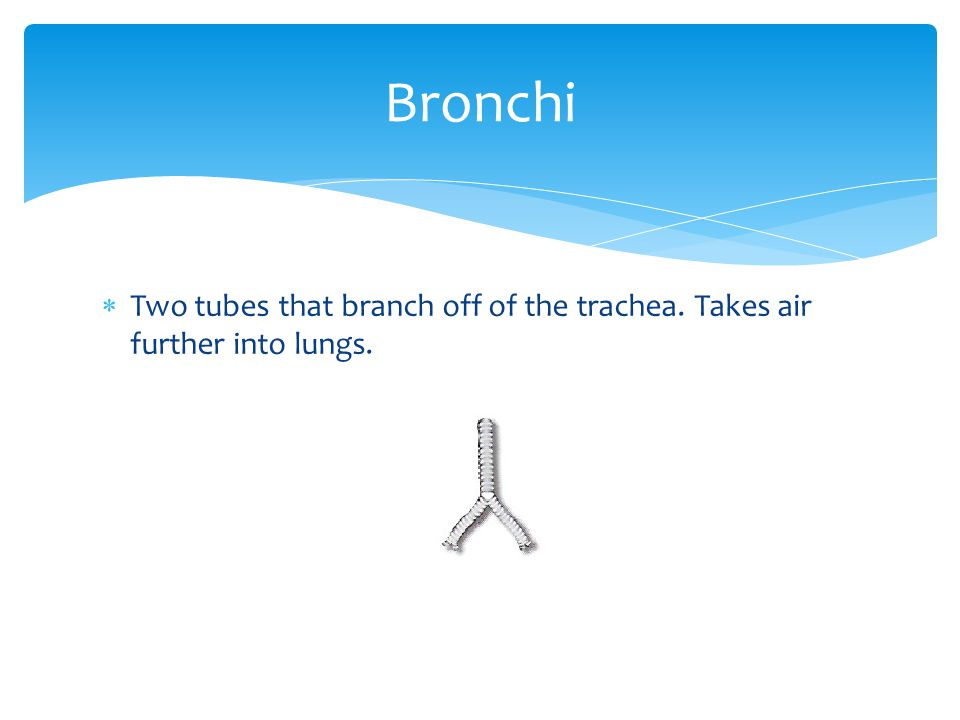 Bronchi Two tubes that branch off of the trachea. Takes air further into lungs.